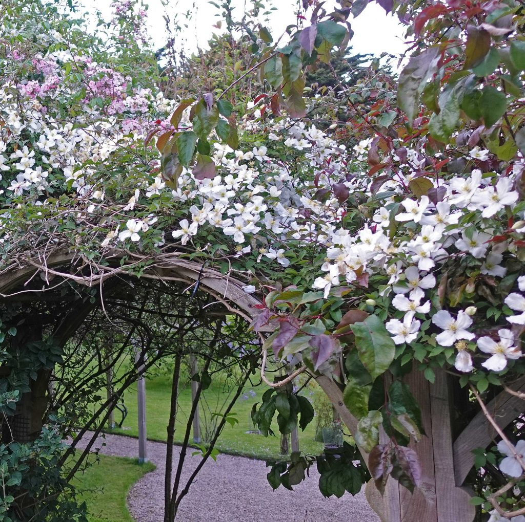 Arch supporting clematis in flower
